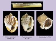 Bolenidae