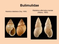 Bulimulidae
